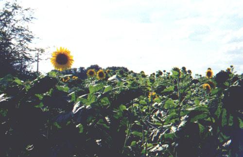 """Sunflowers (Katie Miller being """"biking photographer"""")"""
