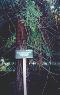 A sequoia from California in Real Jardin Botánico